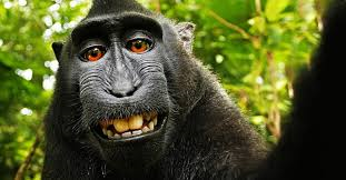 The monkey selfie