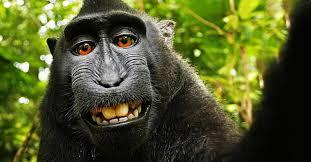 The monkey selfie